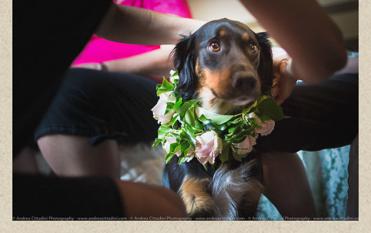 wedding-dog-collar